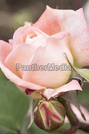 rose international rose test garden portland