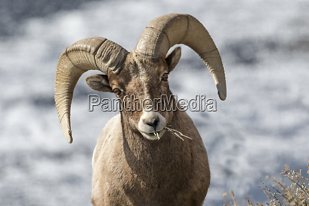 usa wyoming yellowstone national park headshot