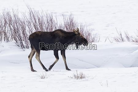usa wyoming yellowstone national park moose