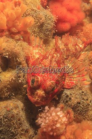red irish lord hemilepidotus hemiliepidotus and