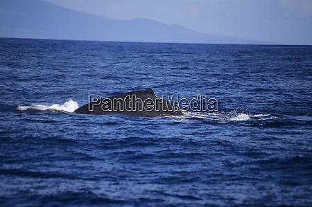 a humpback whale swims through lahaina