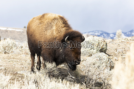 usa wyoming yellowstone national park bison