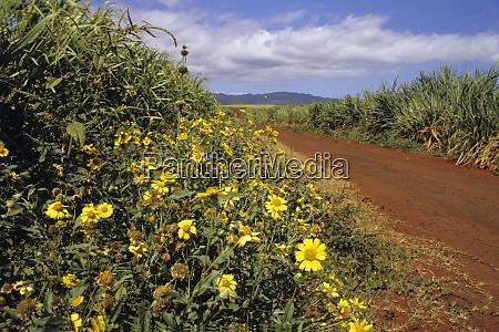 growing sugar cane on kauai hawaii