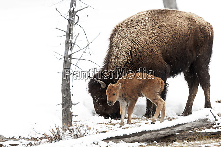 yellowstone national park a female american
