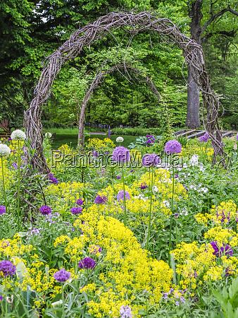 usa pennsylvania blooming allium amongst yellow