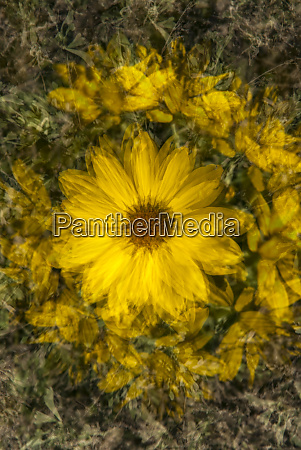 usa wyoming sunflower abstract