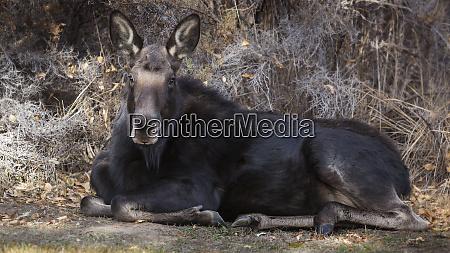 wapiti wyoming usa female moose resting