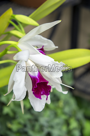 white orchid usa