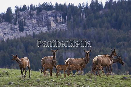 rocky mountain elk herd