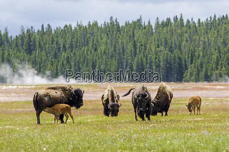 bison bison bison near midway geyser