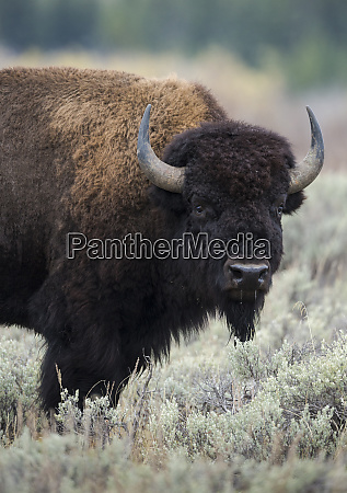 american bison bull bison bison grand