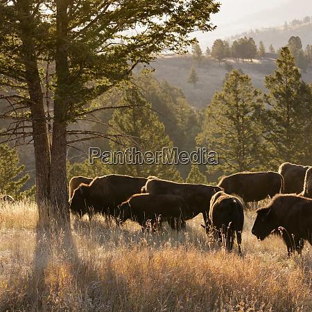 american bison bulls bison americanus blacktail