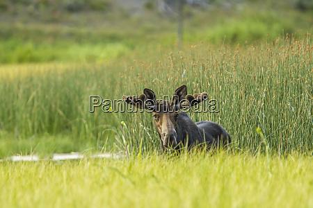 male moose in polecat creek flagg