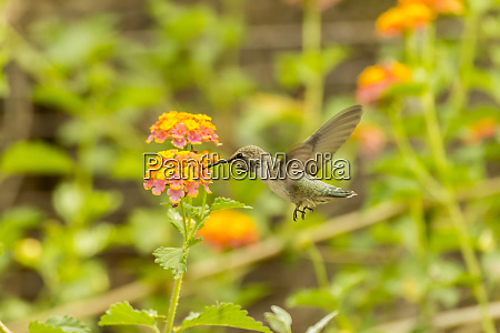 usa arizona desert botanic garden hummingbird