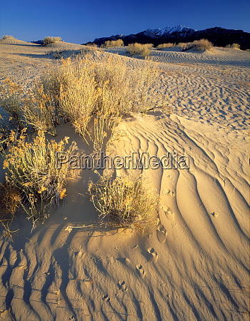 wyoming usa rabbitbrush and bird tracks