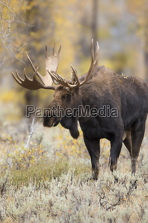 moose alces alces bull in fall