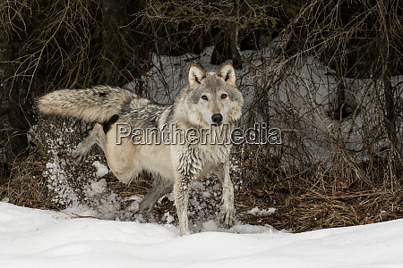 gray wolf or timber wolf marking