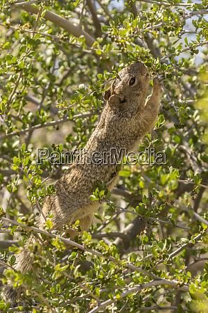 usa arizona sonoran desert rock squirrel