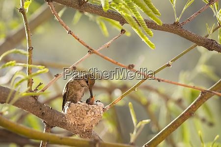 female costas hummingbird calypte costae feeds