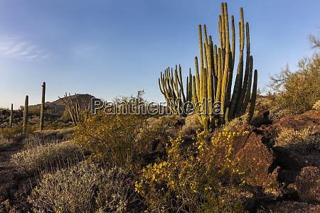 organ pipe cactus in organ pipe