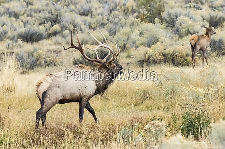 bull elk bugling during the fall