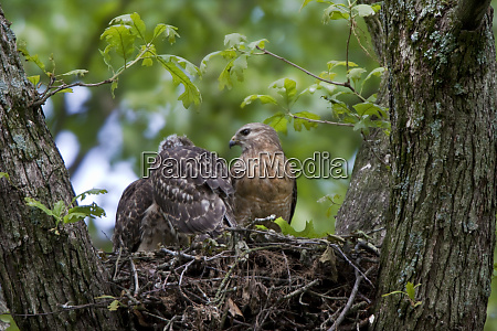 red shouldered hawks buteo lineatus adult