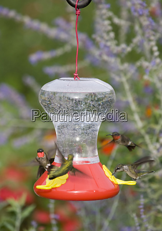 ruby throated hummingbirds archilochus colubris at