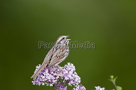 song sparrow melospiza melodia singing on