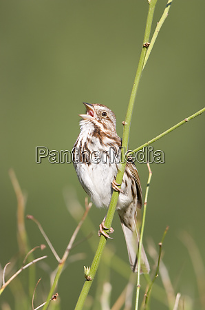 song sparrow melospiza melodia singing marion
