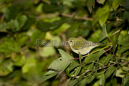 tennessee warbler vermivora peregrina in compact