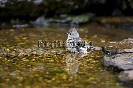 tufted titmouse baeolophus bicolor bathing marion
