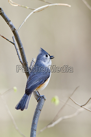 tufted titmouse baeolophus bicolor male singing