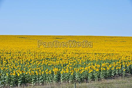 usa south dakota murdo sunflower field