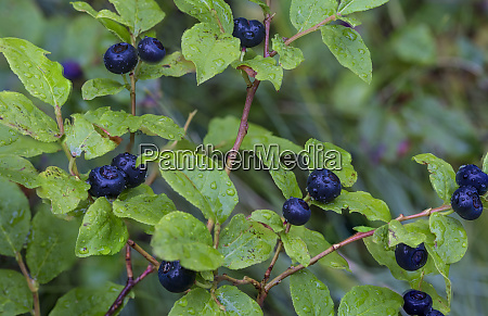 ripe huckleberries in a light rain