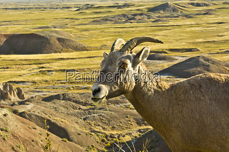 female bighorn sheep in landscape badlands