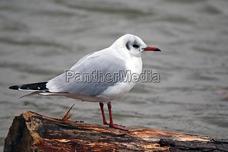 laughing gull chroicocephalus ridibundus on driftwood