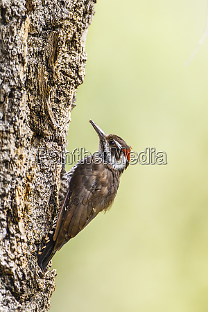 arizona woodpecker picoides arizonae male on
