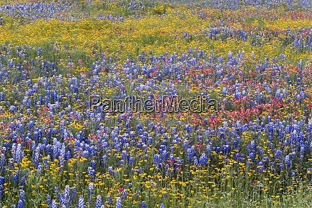 natural pattern of texas paintbrush castilleja