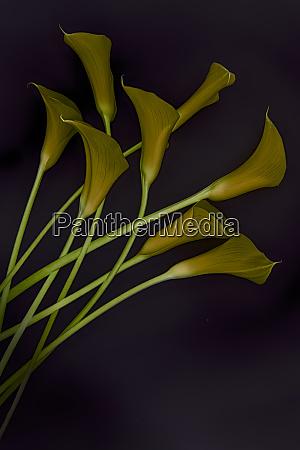 usa florida celebration yellow calla lilies