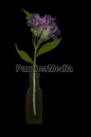 usa florida celebration purple alstroemeria on