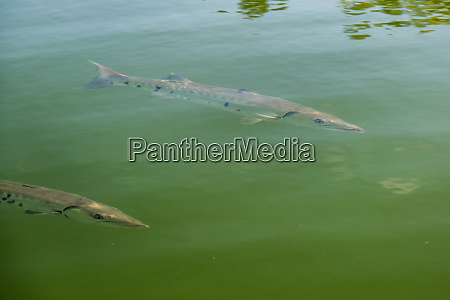 two barracuda near the surface of