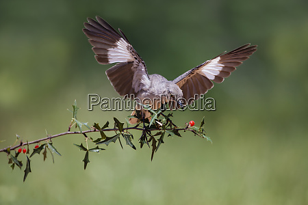 northern mockingbird mimus polyglottos balancing