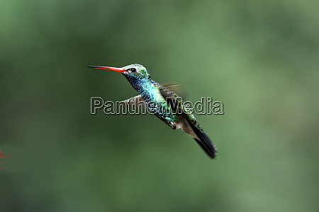 the broad billed hummingbirds cynanthus latirostris