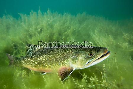 lake trout portrait emerald lake montana