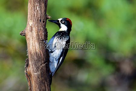 acorn woodpecker female melanerpes formicivorus searching