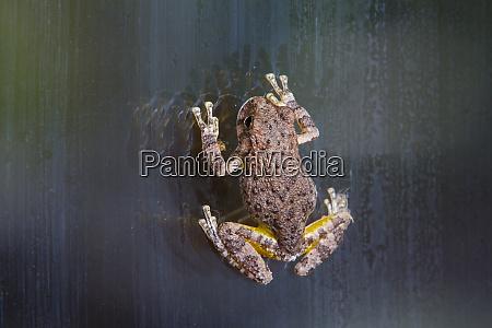 gray treefrog hyla versicolor on window