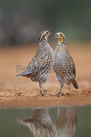 northern bobwhite colinus virginianus quail females