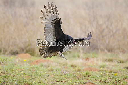 turkey vulture cathartes aura adult landing