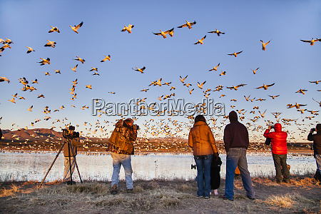 photographing snow geese
