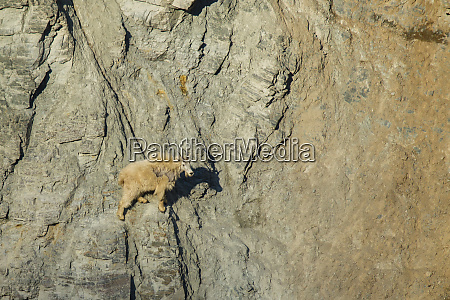 mountain goat oreamnos americanus in its